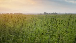 CLI to Begin Trial Farming of Industrial Hemp