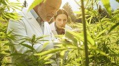 ROO cannabis crops.jpeg