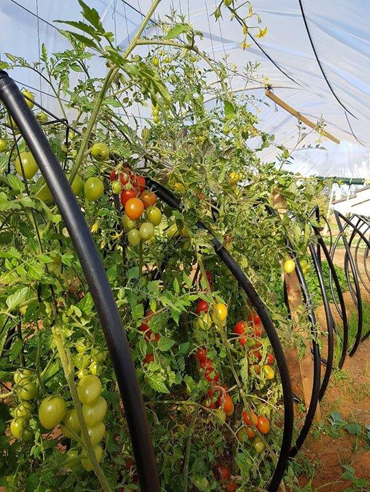 Roots RTZO tomatoes