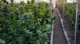ASX Anti Counterfeit Tech Company Capturing Growing Legal Cannabis Market