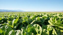 lettuce.jpeg