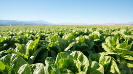 ROO's RZTO Tech Produces Bigger Lettuce Crops, Faster