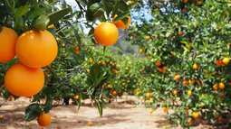 orange crops.jpeg